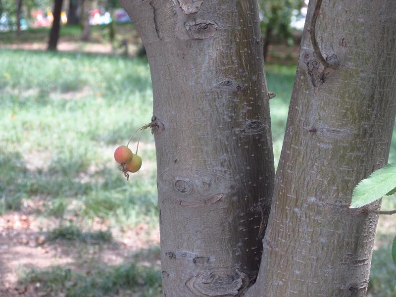 树干上的一对北美海棠果(1) 04 IMG_4953_副本.jpg
