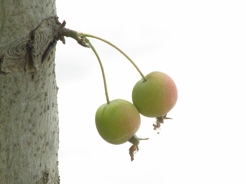 树干上的一对北美海棠果(1) 05 IMG_4956_副本.jpg