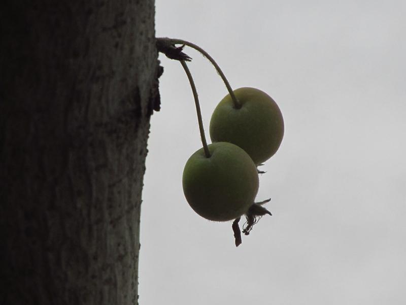 树干上的一对北美海棠果(1) 09 IMG_4969_副本.jpg