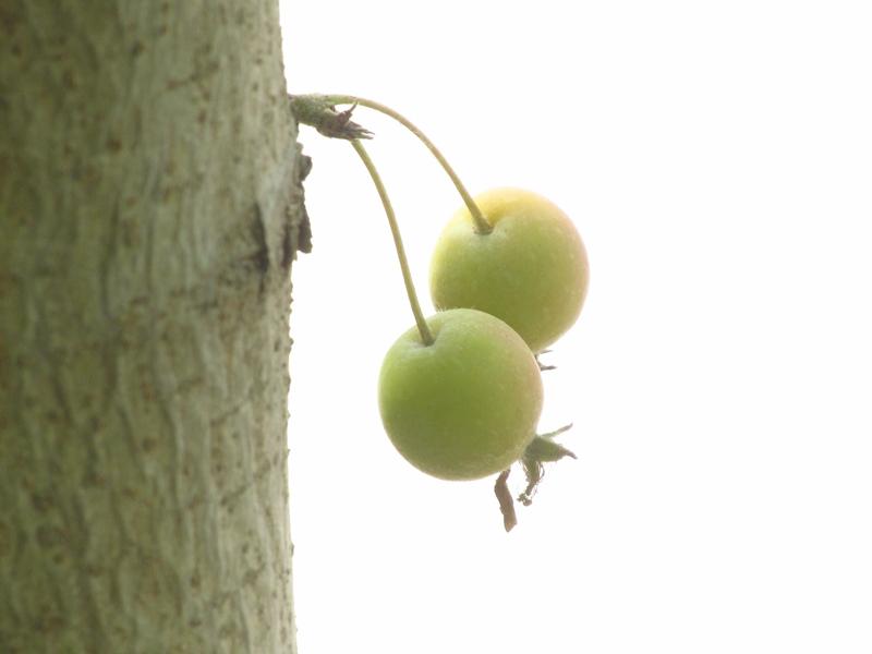 树干上的一对北美海棠果(1) 10 IMG_4974_副本.jpg