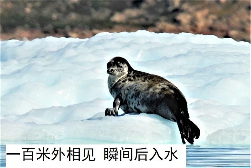 002照片1084很难拍摄到的北极海豹 - 副本.jpg