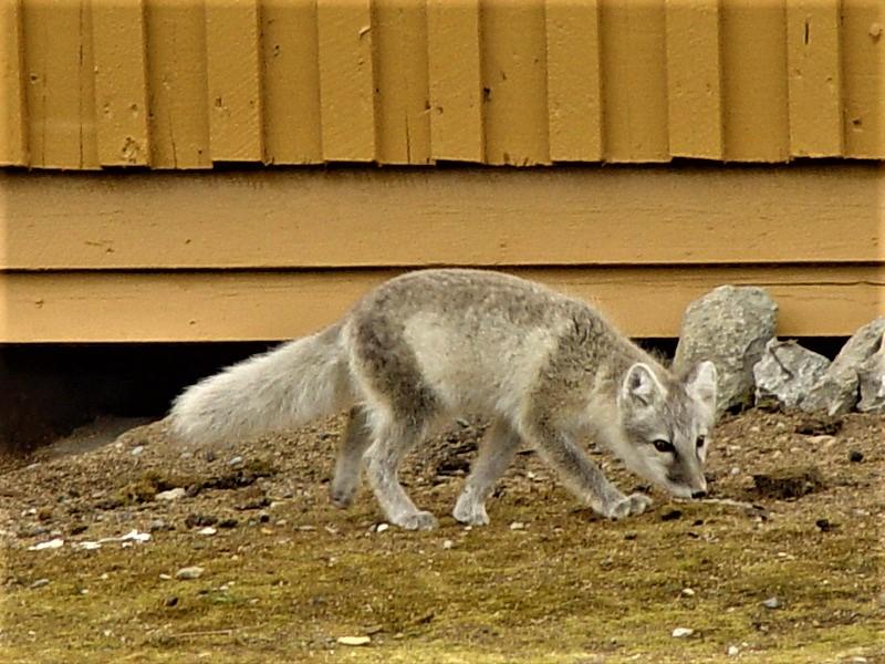 001夏天在新奥尔森的北极狐 - 副本.JPG