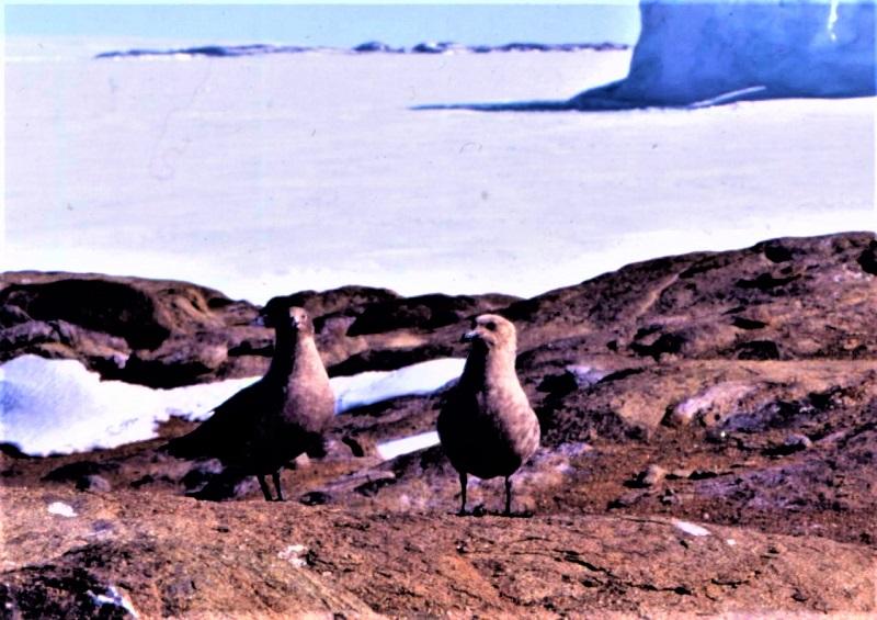 照片1南极贼鸥 - 副本.jpg