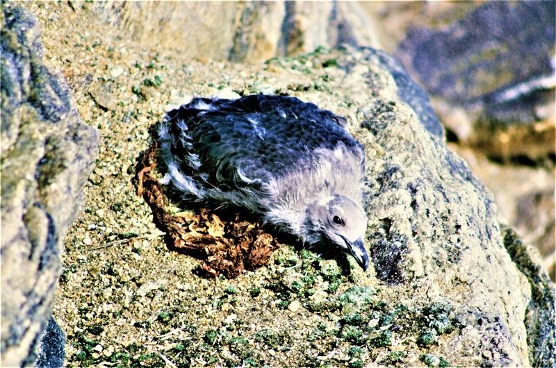 照片2南极贼鸥的幼鸟 - 副本.JPG