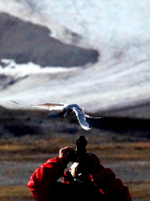 照片2北极燕鸥攻击靠近家园者 - 副本.jpg