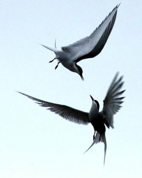 007北极燕鸥对歌求偶 - 副本.jpg