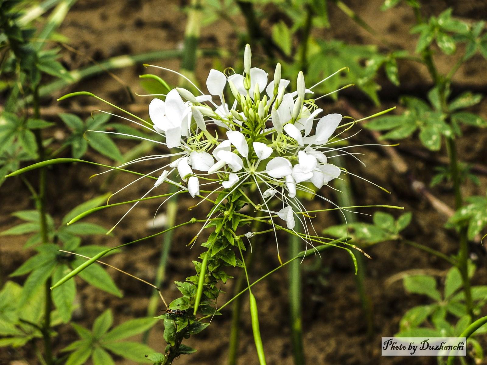 4IMG_5812醉蝶花(宝石白色)植物园(选)_1_1-1.jpg
