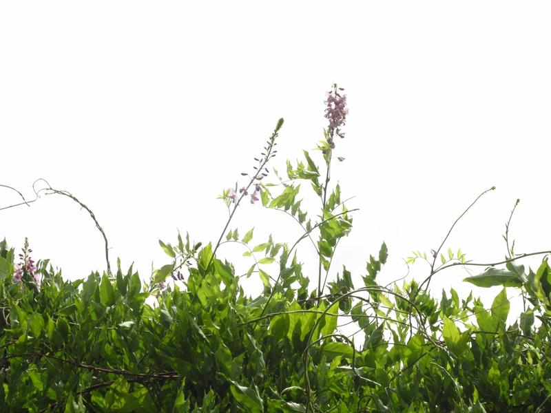 夏日的紫藤花(2)花与藤 06 IMG_3550_副本.jpg