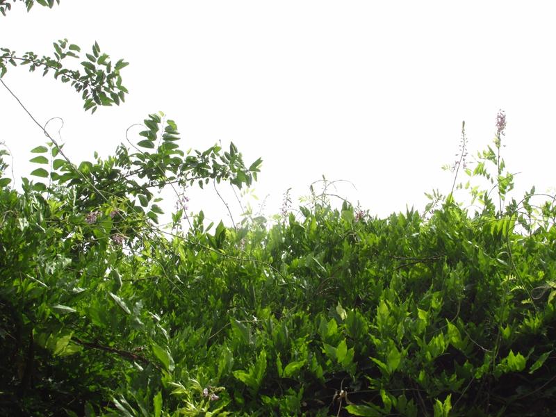 夏日的紫藤花(2)花与藤 07 IMG_3548_副本.jpg