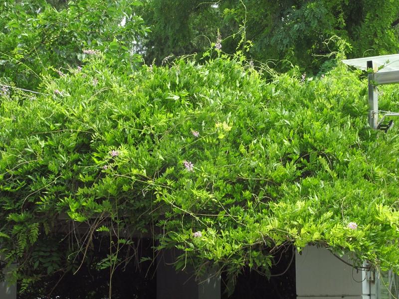 夏日的紫藤花(2)花与藤 09 IMG_3541_副本.jpg
