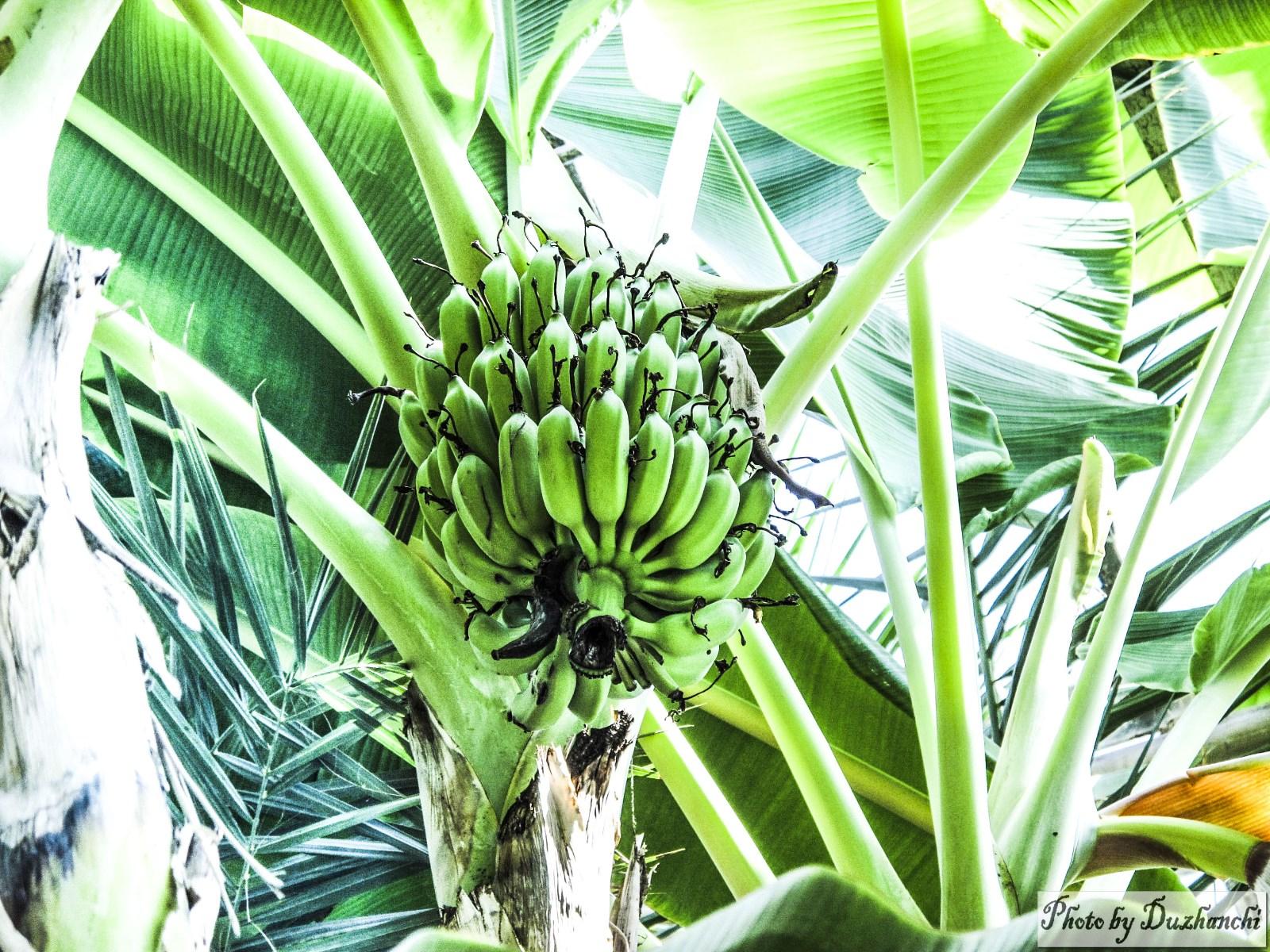 0IMG_1050香蕉(植物所)_1_1-1.jpg
