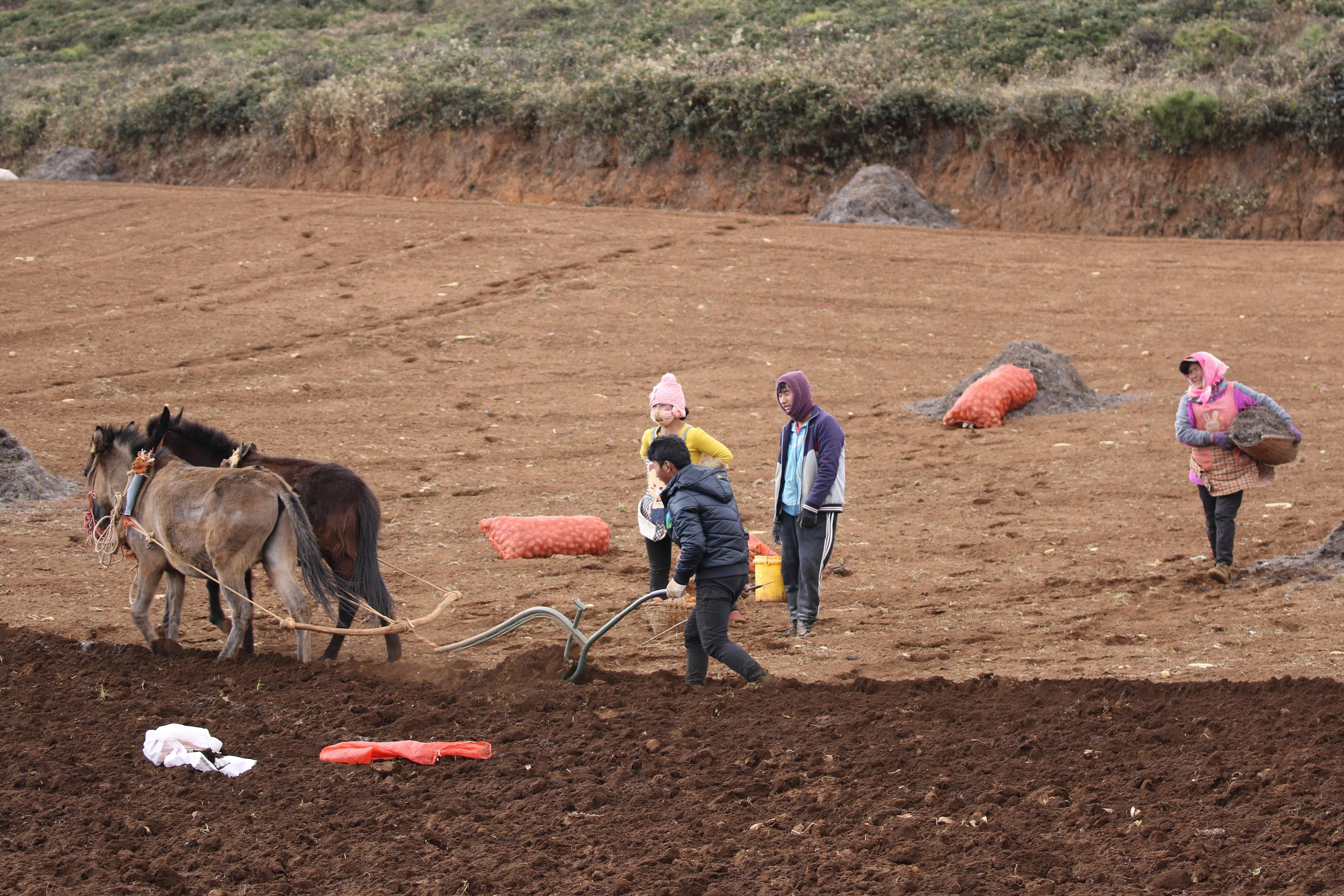 5 种植马铃薯是农民的生活依靠廖辰灿摄 (2).jpg