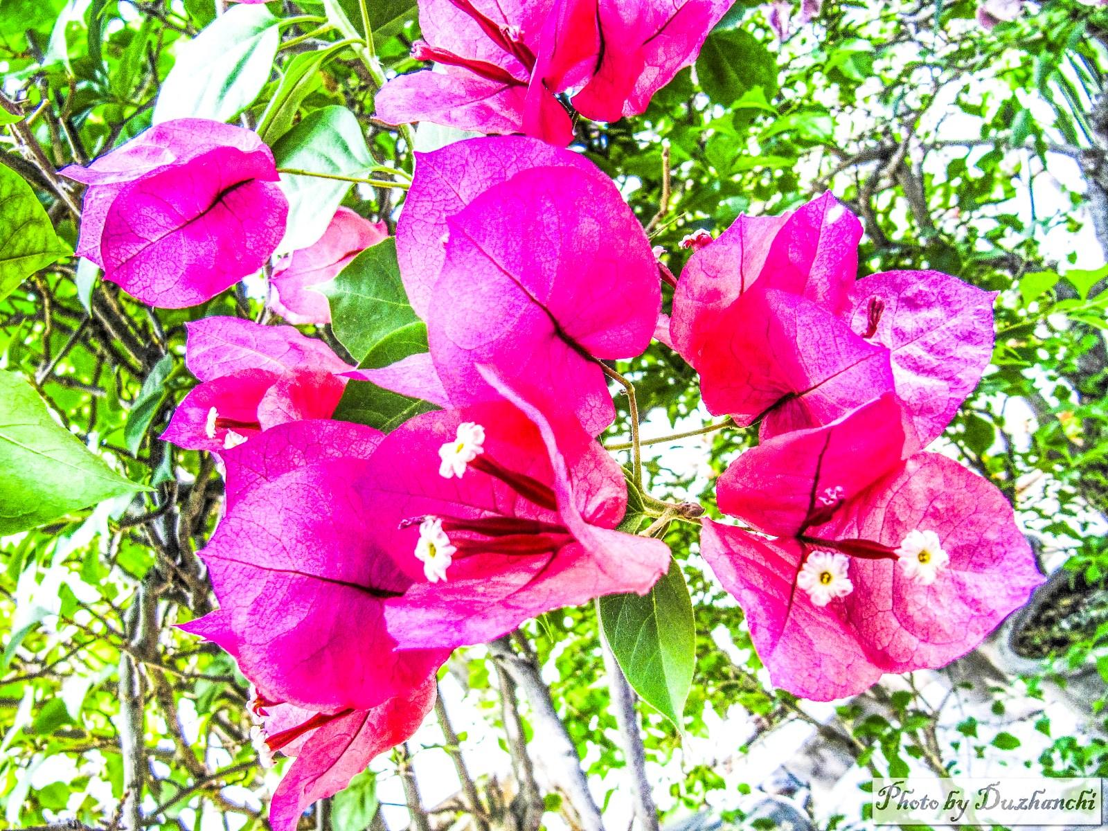 4IMG_1229植物所叶子花_2_1-1_1.jpg