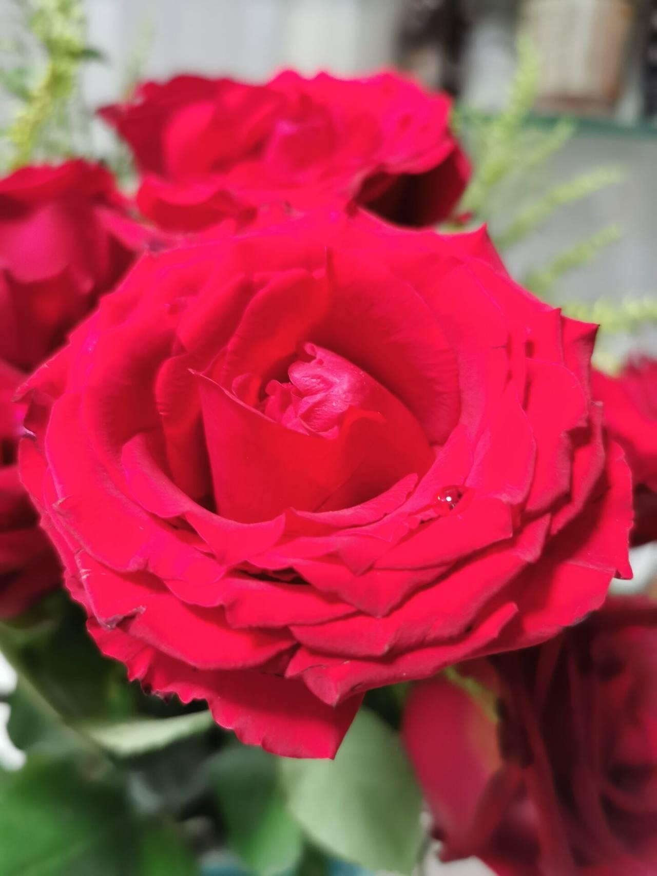 看花老眼之瓶中玫瑰1.jpg