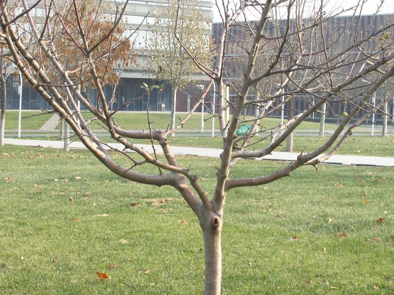 第三代牛顿苹果树(2020秋,北洋园) 04 IMG_5611_副本.jpg