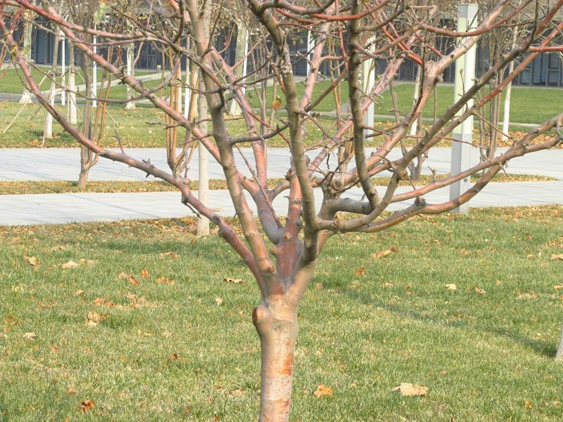 第三代牛顿苹果树(2020秋,北洋园) 06 IMG_5614_副本.jpg