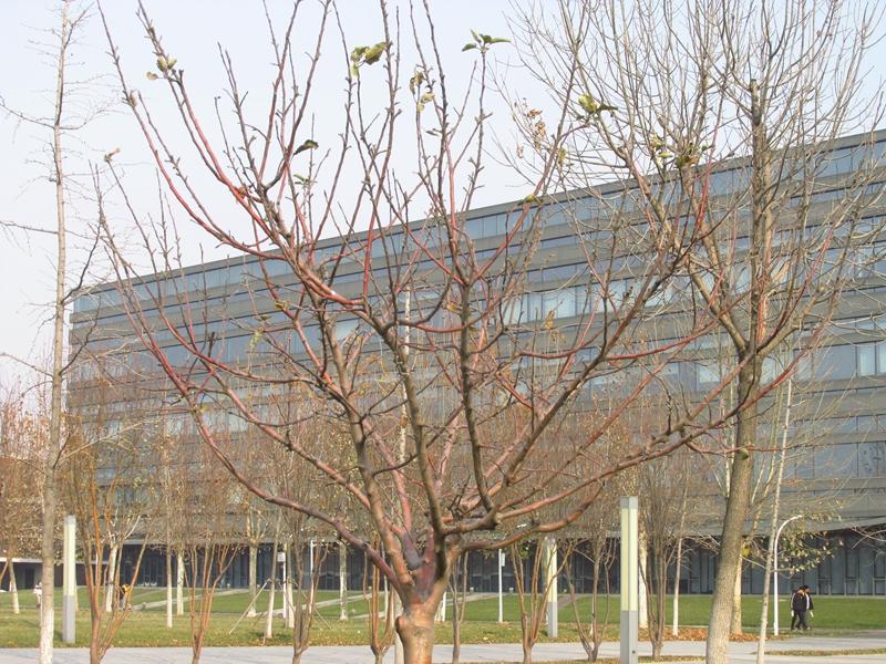 第三代牛顿苹果树(2020秋,北洋园) 08 IMG_5626_副本.jpg