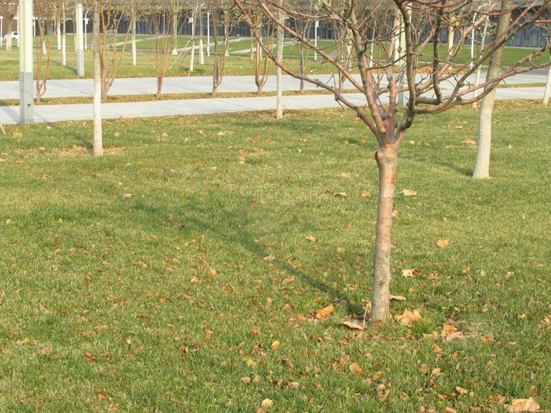 第三代牛顿苹果树(2020秋,北洋园) 11 IMG_5641_副本.jpg