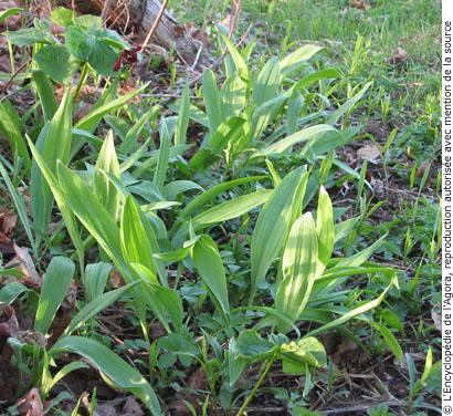 2008-05-23 北美的野菜-上善若水 05.jpg