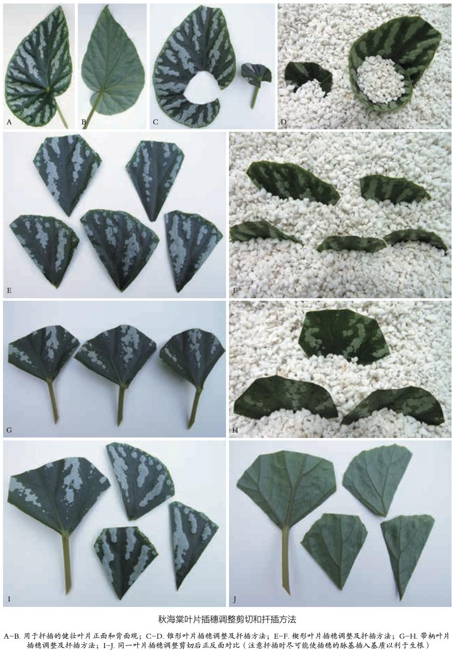 图6 秋海棠叶片插穗调整剪切和扦插方法.png