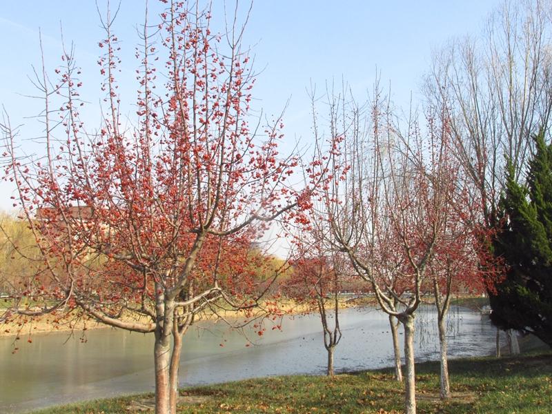 海棠与金银木树随拍 02 IMG_5772_副本.jpg