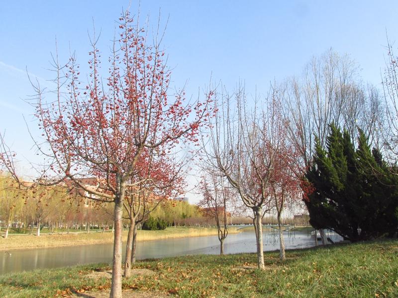 海棠与金银木树随拍 03 IMG_5776_副本.jpg