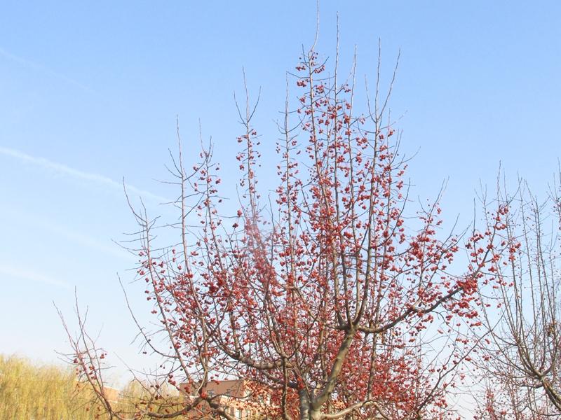 海棠与金银木树随拍 04 IMG_5781_副本.jpg