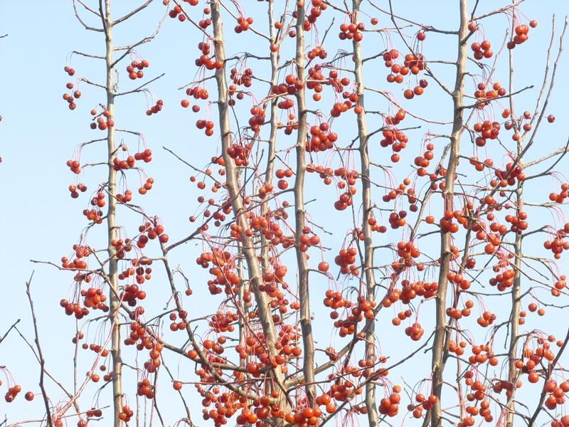 海棠与金银木树随拍 05 IMG_5783_副本.jpg