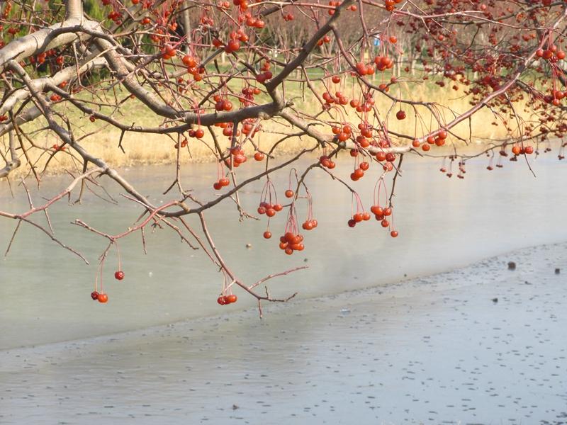 海棠与金银木树随拍 06 IMG_5788_副本.jpg