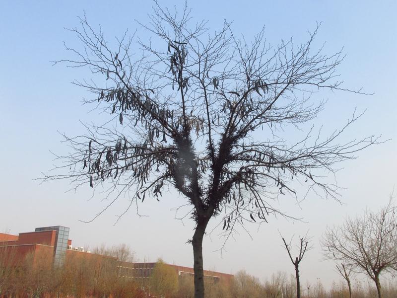 一颗丰收的皂荚树(2020秋,北洋园) 01 IMG_5411_副本.jpg