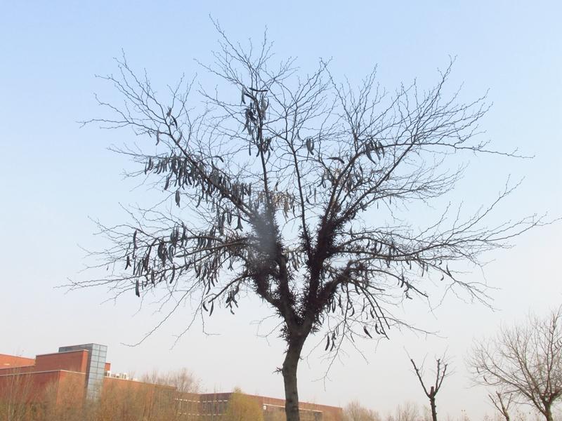 一颗丰收的皂荚树(2020秋,北洋园) 02 IMG_5415_副本.jpg