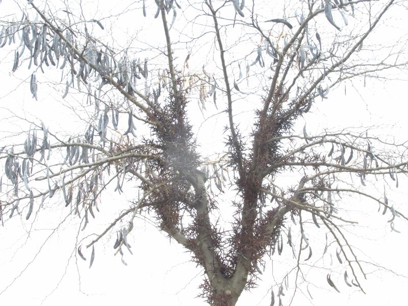 一颗丰收的皂荚树(2020秋,北洋园) 04 IMG_5421_副本.jpg