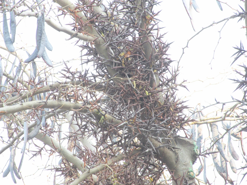 一颗丰收的皂荚树(2020秋,北洋园) 07 IMG_5433_副本.jpg