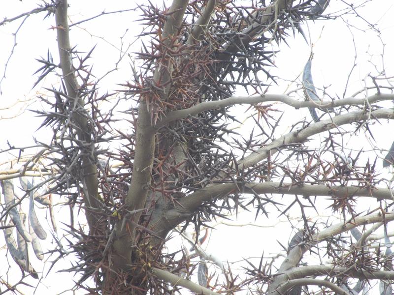 一颗丰收的皂荚树(2020秋,北洋园) 08 IMG_5436_副本.jpg
