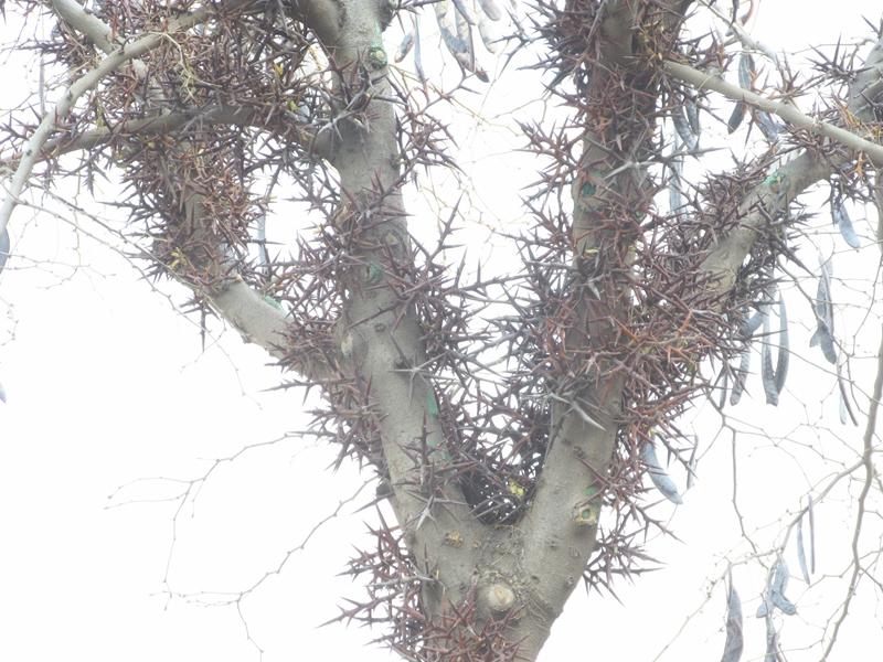 一颗丰收的皂荚树(2020秋,北洋园) 10 IMG_5441_副本.jpg