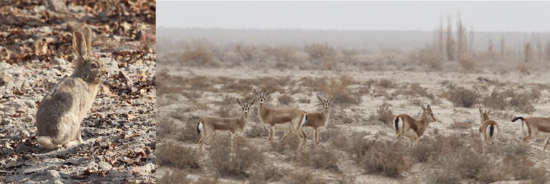 南疆的兽类 马鸣摄.JPG