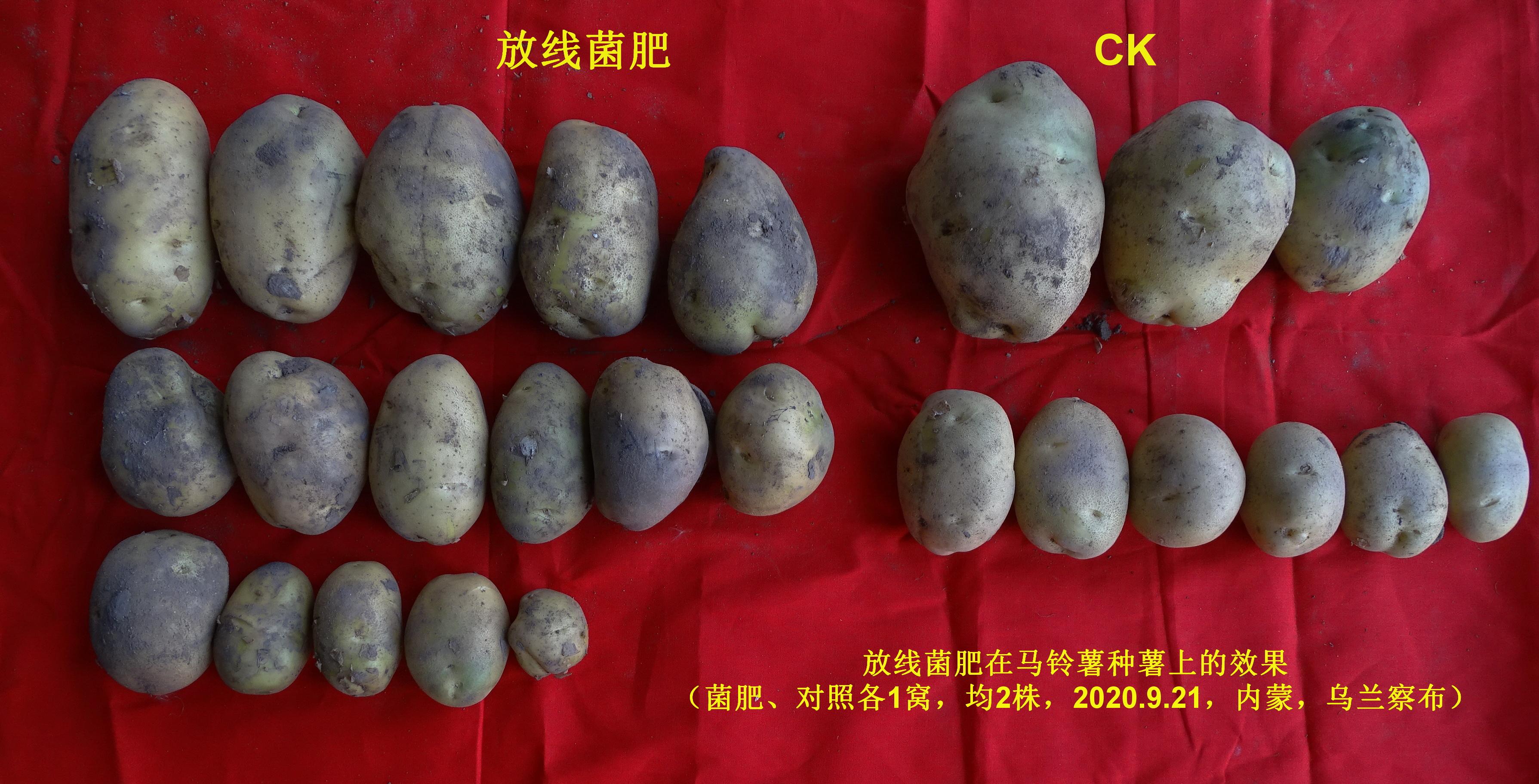马铃薯试验.jpg