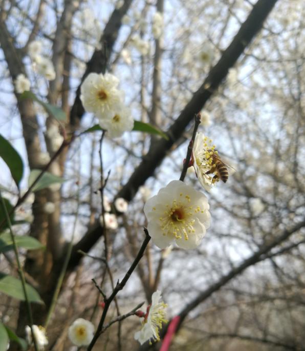 白:峰恋花.png