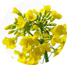 油菜花 12600205-Rape-flowers_副本.jpg