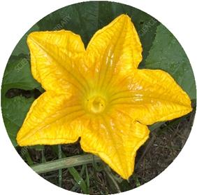 南瓜花  B7601333-Pumpkin_flower_副本.jpg