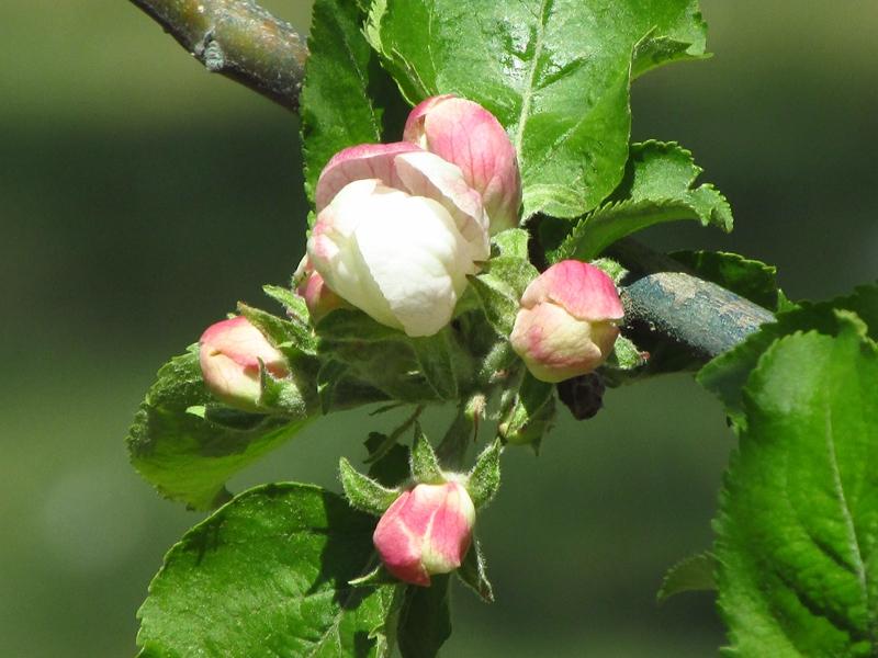 牛顿苹果树开出海棠花 05 IMG_8501_副本.jpg