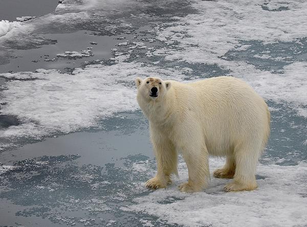 北极熊.jpg