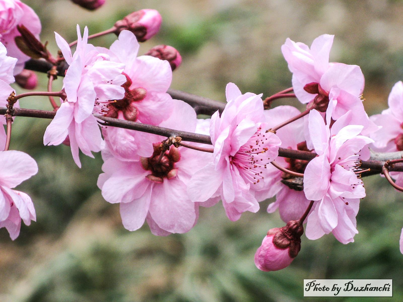 2IMG_0757美人梅(北京植物园)选-1_1.jpg