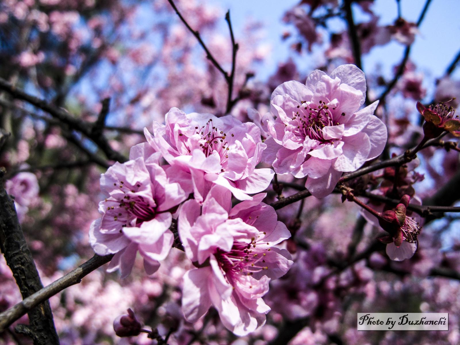 3IMG_3106美人梅(北京植物园)_1-1.jpg