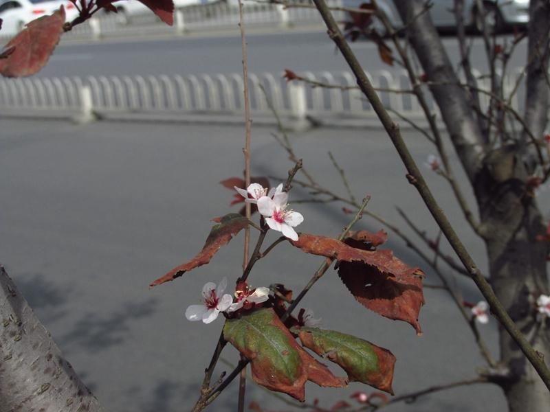 紫叶李,二次开花 03 IMG_2394_副本.jpg