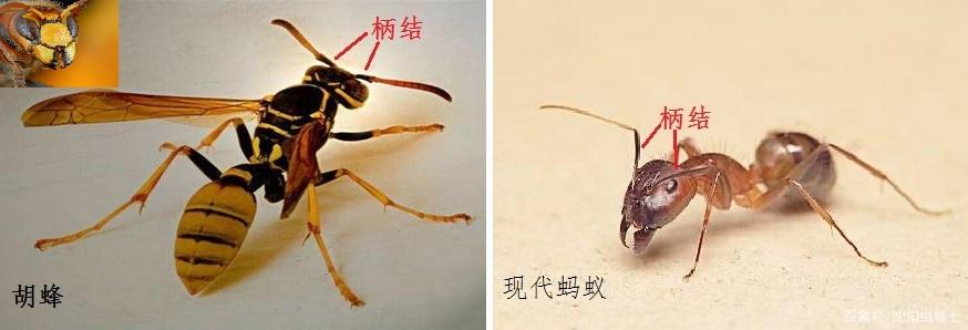 胡蜂.jpg