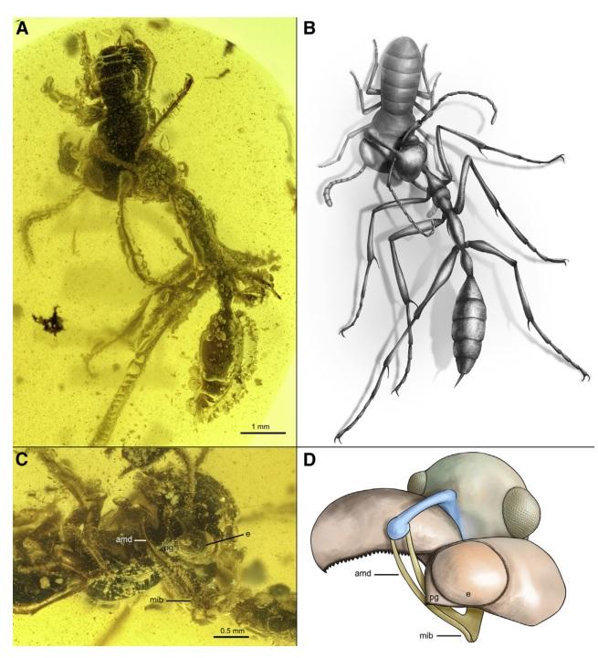 图15-地狱蚂蚁捕猎.jpg