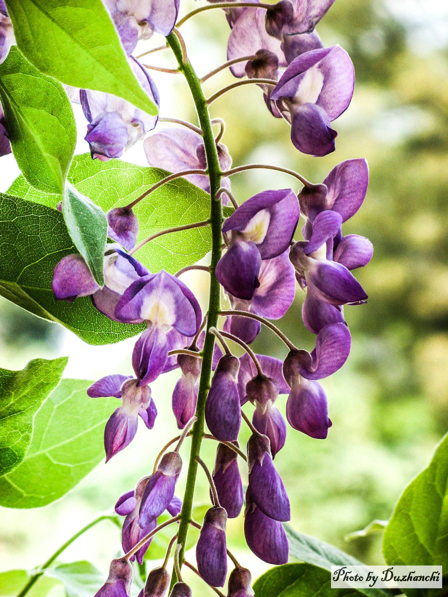 4IMG_0174紫藤(植物所)_1_11.jpg