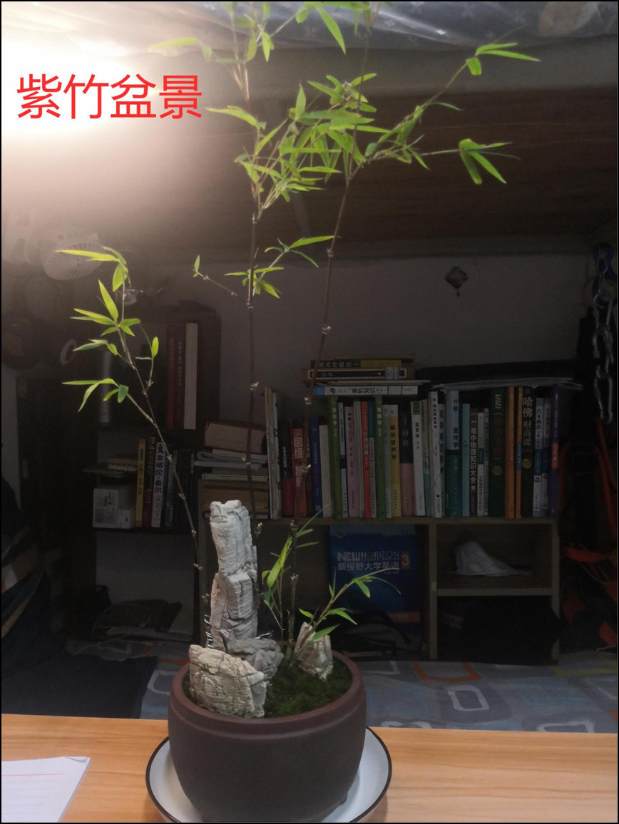 徐黎杰-紫竹盆景.jpg