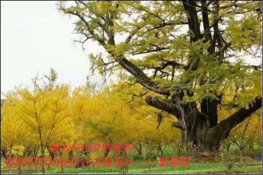 徐黎杰-西银杏树的约定.jpg